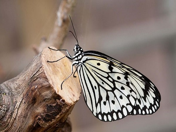 nằm mơ thấy bướm đánh con gì