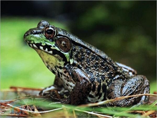 nằm mơ thấy ếch đánh con gì