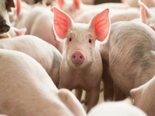 nằm mơ thấy lợn đánh con gì