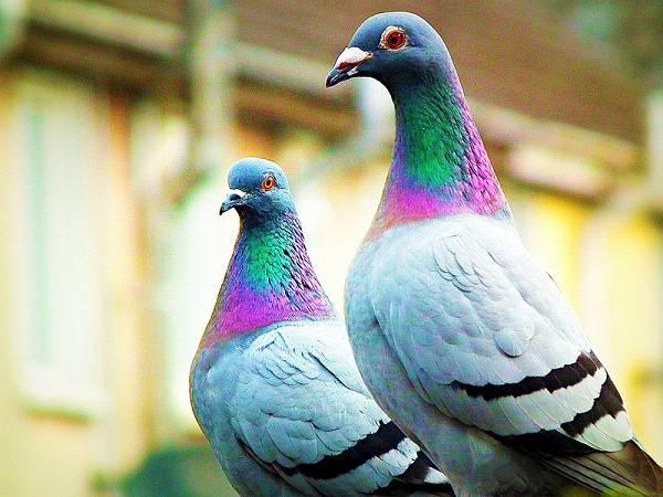 Nằm mơ thấy chim bồ câu chơi xổ số con gì may mắn