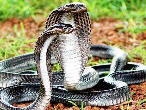 Nằm mơ thấy rắn quấn có ý nghĩa gì điềm báo tốt hay xấu