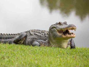 Ý nghĩa giấc mơ thấy cá sấu ? Đánh lô con gì chắc trúng ?